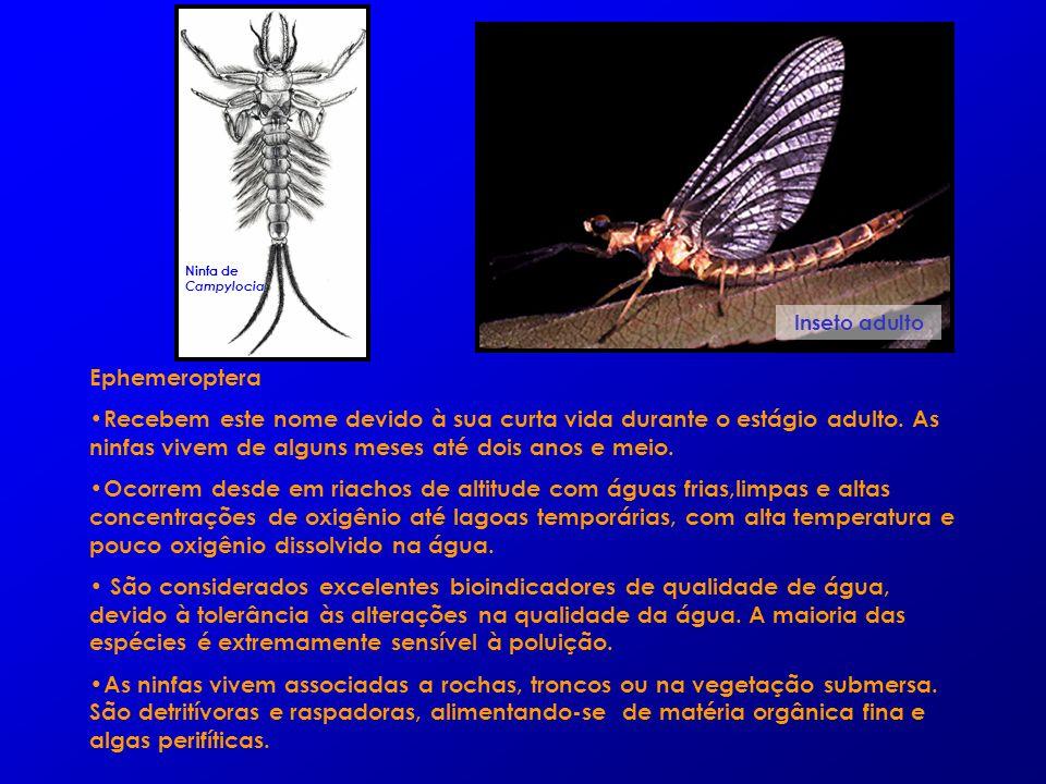 Ephemeroptera Recebem este nome devido à sua curta vida durante o estágio adulto. As ninfas vivem de alguns meses até dois anos e meio. Ocorrem desde