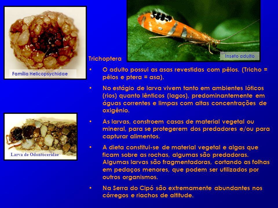Trichoptera O adulto possui as asas revestidas com pêlos. (Tricho = pêlos e ptera = asa). No estágio de larva vivem tanto em ambientes lóticos (rios)