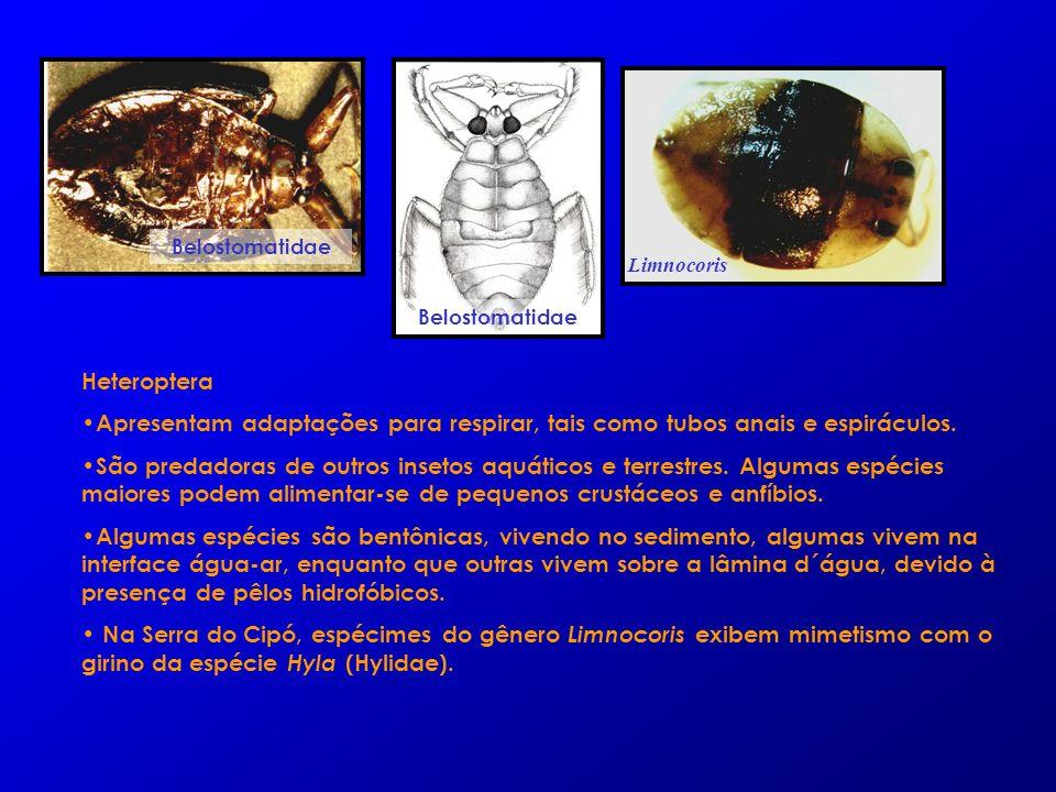 Heteroptera Apresentam adaptações para respirar, tais como tubos anais e espiráculos. São predadoras de outros insetos aquáticos e terrestres. Algumas