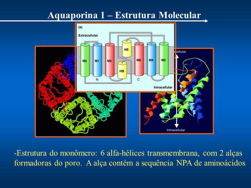 Aquaporina 1 – Estrutura Molecular Q uatro monômeros - AQP1 -Estrutura do monômero: 6 alfa-hélices transmembrana, com 2 alças formadoras do poro. A al