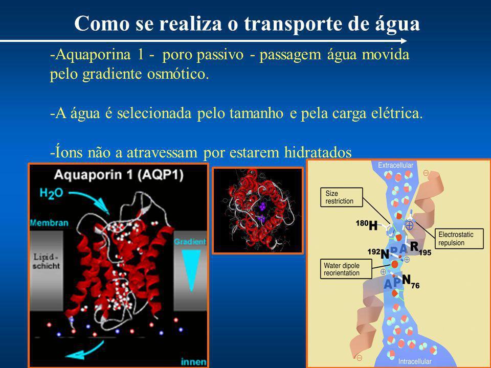 Como se realiza o transporte de água -Aquaporina 1 - poro passivo - passagem água movida pelo gradiente osmótico. -A água é selecionada pelo tamanho e
