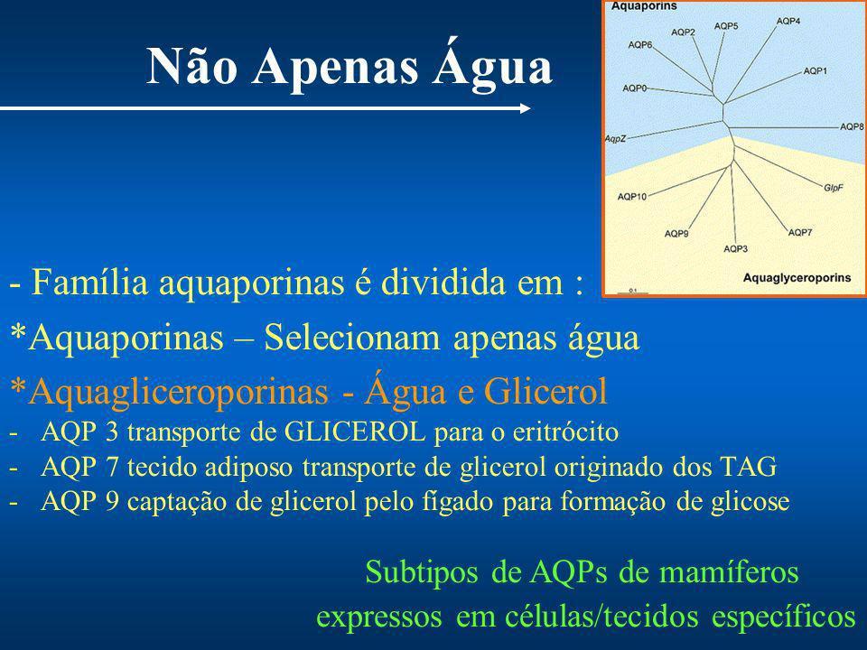 Não Apenas Água - Família aquaporinas é dividida em : *Aquaporinas – Selecionam apenas água *Aquagliceroporinas - Água e Glicerol -AQP 3 transporte de