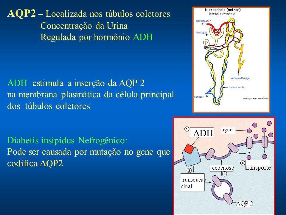 AQP2 – Localizada nos túbulos coletores Concentração da Urina Regulada por hormônio ADH ADH estimula a inserção da AQP 2 na membrana plasmática da célula principal dos túbulos coletores Diabetis insipidus Nefrogênico: Pode ser causada por mutação no gene que codifica AQP2 ADH transducao sinal AQP 2 exocitose agua transporte