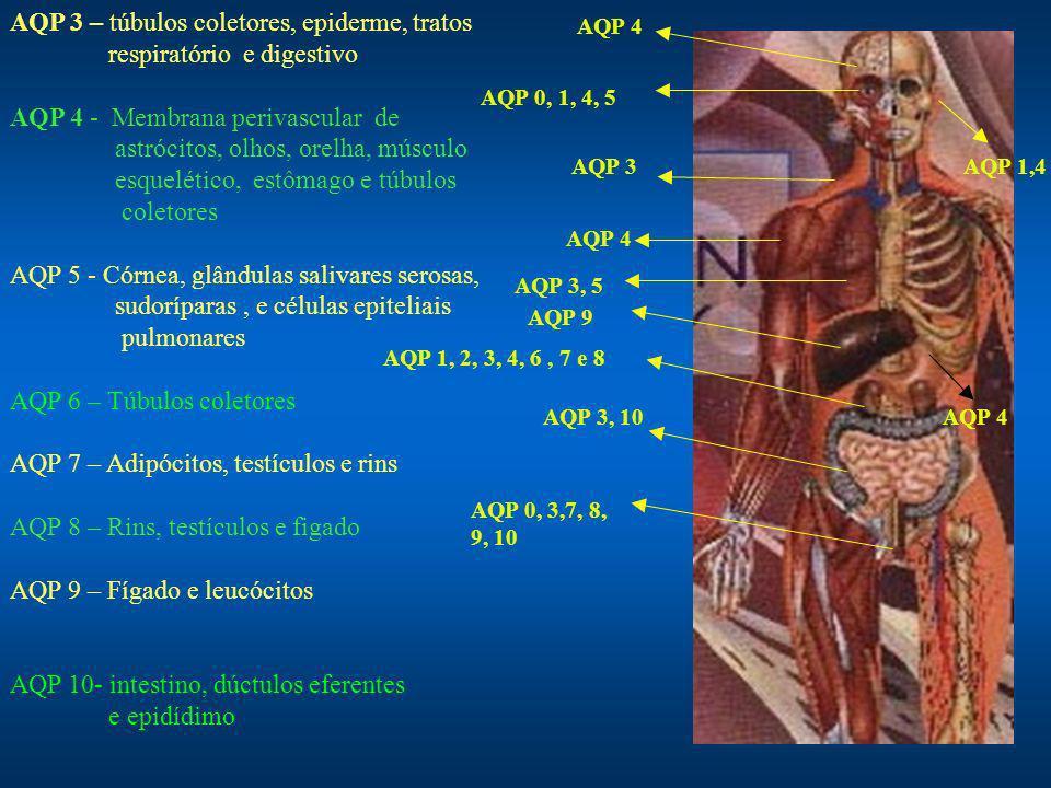 AQP 3 – túbulos coletores, epiderme, tratos respiratório e digestivo AQP 4 - Membrana perivascular de astrócitos, olhos, orelha, músculo esquelético, estômago e túbulos coletores AQP 5 - Córnea, glândulas salivares serosas, sudoríparas, e células epiteliais pulmonares AQP 6 – Túbulos coletores AQP 7 – Adipócitos, testículos e rins AQP 8 – Rins, testículos e figado AQP 9 – Fígado e leucócitos AQP 10- intestino, dúctulos eferentes e epidídimo AQP 1, 2, 3, 4, 6, 7 e 8 AQP 4 AQP 0, 1, 4, 5 AQP 3 AQP 3, 5 AQP 3, 10 AQP 1,4 AQP 4 AQP 0, 3,7, 8, 9, 10 AQP 9