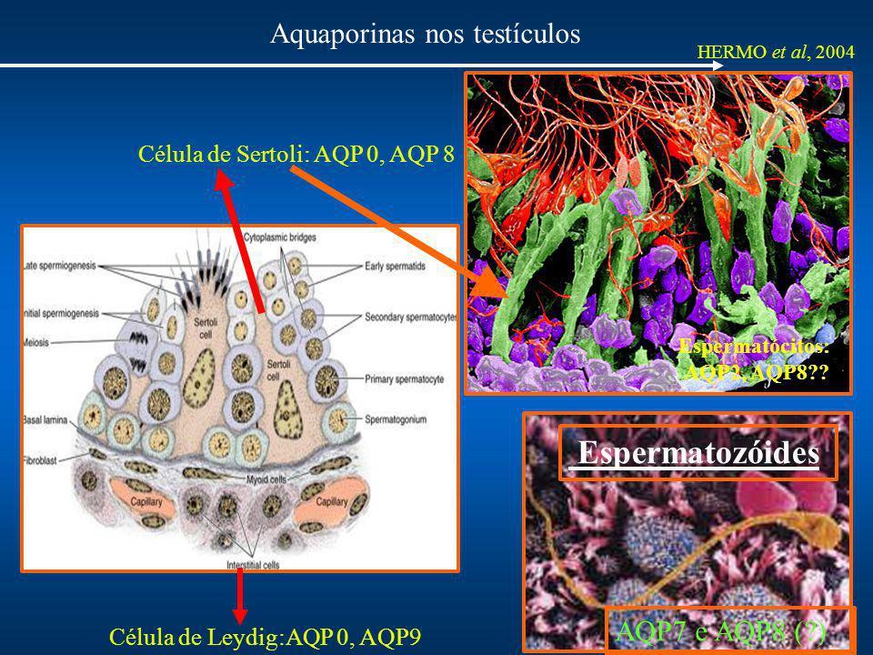 Aquaporinas nos testículos HERMO et al, 2004 Célula de Leydig:AQP 0, AQP9 AQP7 e AQP8 (?) Espermatozóides Célula de Sertoli: AQP 0, AQP 8 Espermatócit