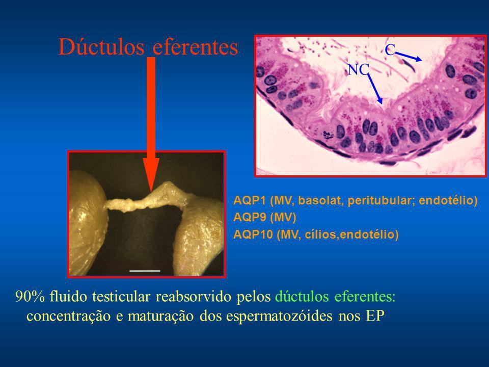 90% fluido testicular reabsorvido pelos dúctulos eferentes: concentração e maturação dos espermatozóides nos EP AQP1 (MV, basolat, peritubular; endotélio) AQP9 (MV) AQP10 (MV, cílios,endotélio) Dúctulos eferentes C NC