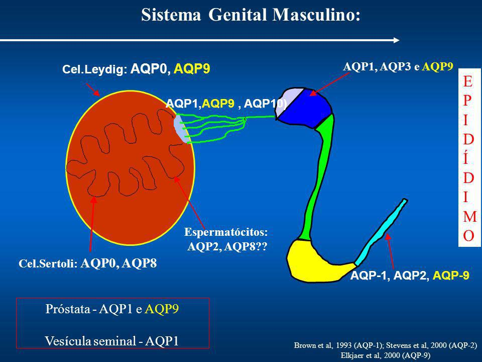 Sistema Genital Masculino: Cel.Leydig: AQP0, AQP9 AQP-1, AQP2, AQP-9 EPIDÍDIMOEPIDÍDIMO Brown et al, 1993 (AQP-1); Stevens et al, 2000 (AQP-2) Elkjaer et al, 2000 (AQP-9) Espermatócitos: AQP2, AQP8?.