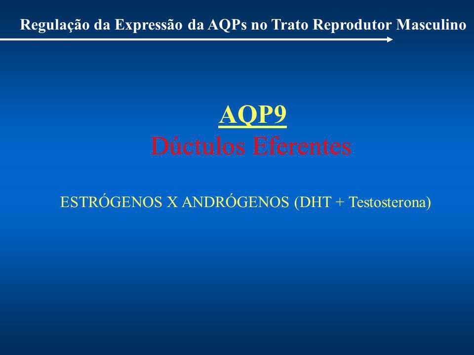 Regulação da Expressão da AQPs no Trato Reprodutor Masculino AQP9 Dúctulos Eferentes ESTRÓGENOS X ANDRÓGENOS (DHT + Testosterona)