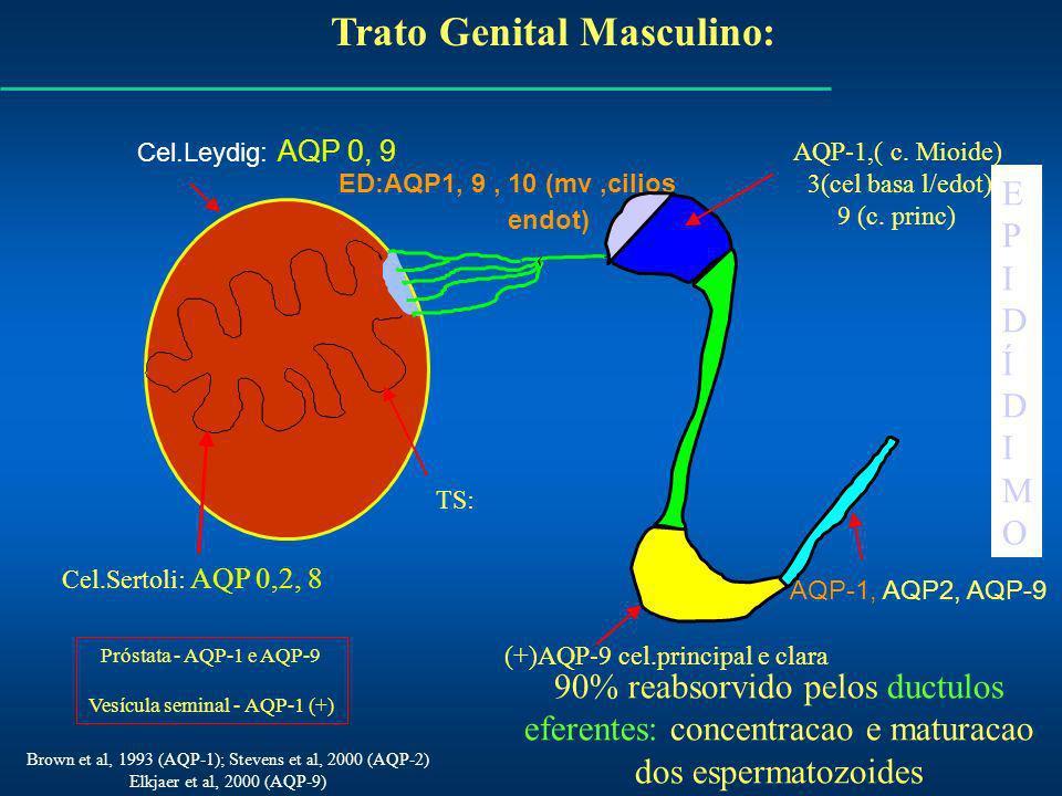 Trato Genital Masculino: Cel.Leydig: AQP 0, 9 ED:AQP1, 9, 10 (mv,cilios endot) AQP-1, AQP2, AQP-9 EPIDÍDIMOEPIDÍDIMO Brown et al, 1993 (AQP-1); Stevens et al, 2000 (AQP-2) Elkjaer et al, 2000 (AQP-9) TS: Cel.Sertoli: AQP 0,2, 8 AQP-1,( c.