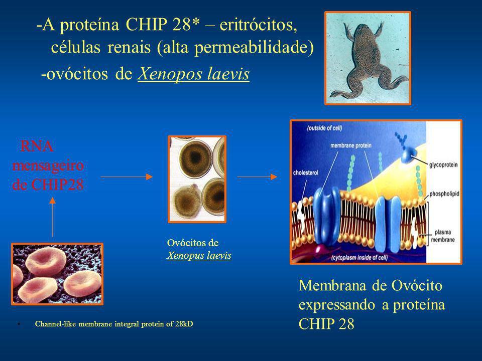 -A proteína CHIP 28* – eritrócitos, células renais (alta permeabilidade) -ovócitos de Xenopos laevis RNA mensageiro de CHIP28 Ovócitos de Xenopus laev