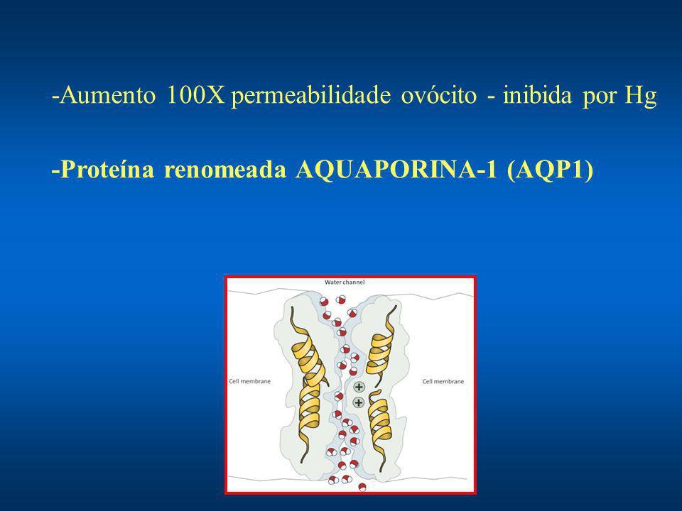 -Aumento 100X permeabilidade ovócito - inibida por Hg -Proteína renomeada AQUAPORINA-1 (AQP1)