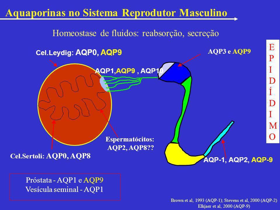 AQP-1, AQP2, AQP-9 EPIDÍDIMOEPIDÍDIMO Brown et al, 1993 (AQP-1); Stevens et al, 2000 (AQP-2) Elkjaer et al, 2000 (AQP-9) Cel.Leydig: AQP0, AQP9 Esperm