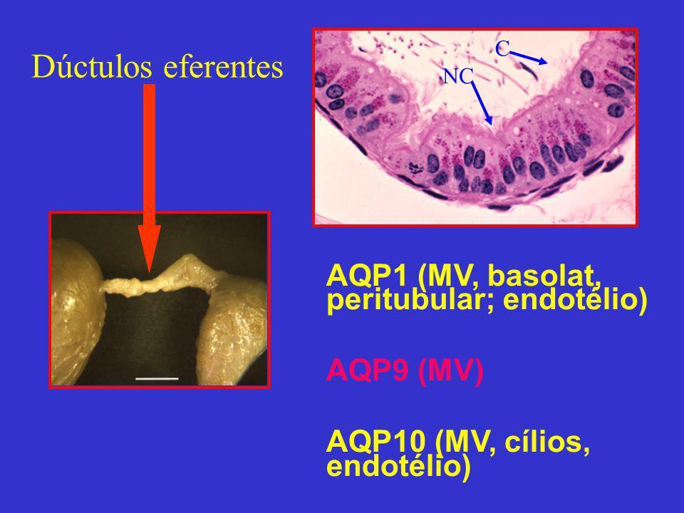 AQP1 (MV, basolat, peritubular; endotélio) AQP9 (MV) AQP10 (MV, cílios, endotélio) Dúctulos eferentes C NC