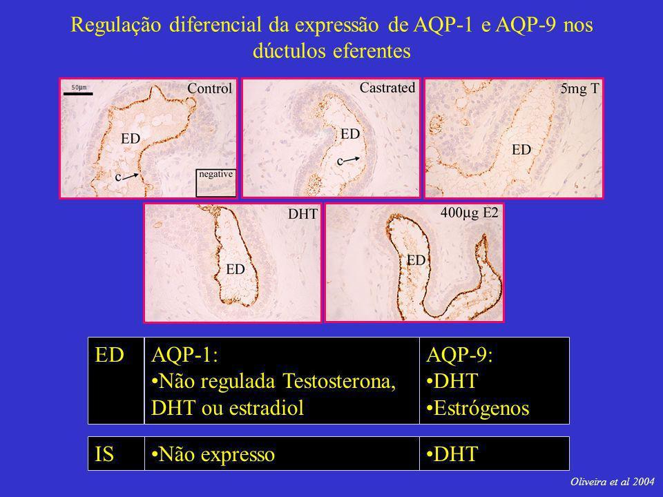 Regulação diferencial da expressão de AQP-1 e AQP-9 nos dúctulos eferentes AQP-1: Não regulada Testosterona, DHT ou estradiol AQP-9: DHT Estrógenos ED