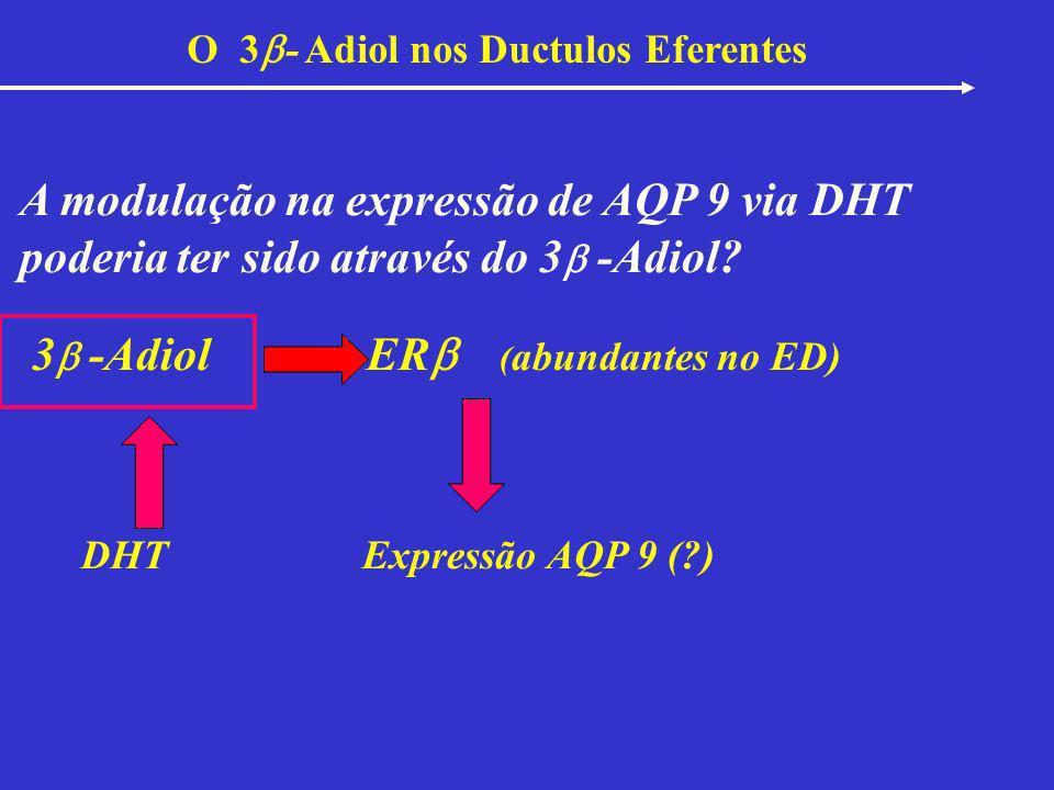 O 3 - Adiol nos Ductulos Eferentes A modulação na expressão de AQP 9 via DHT poderia ter sido através do 3 -Adiol? 3 -Adiol ER ( abundantes no ED) DHT