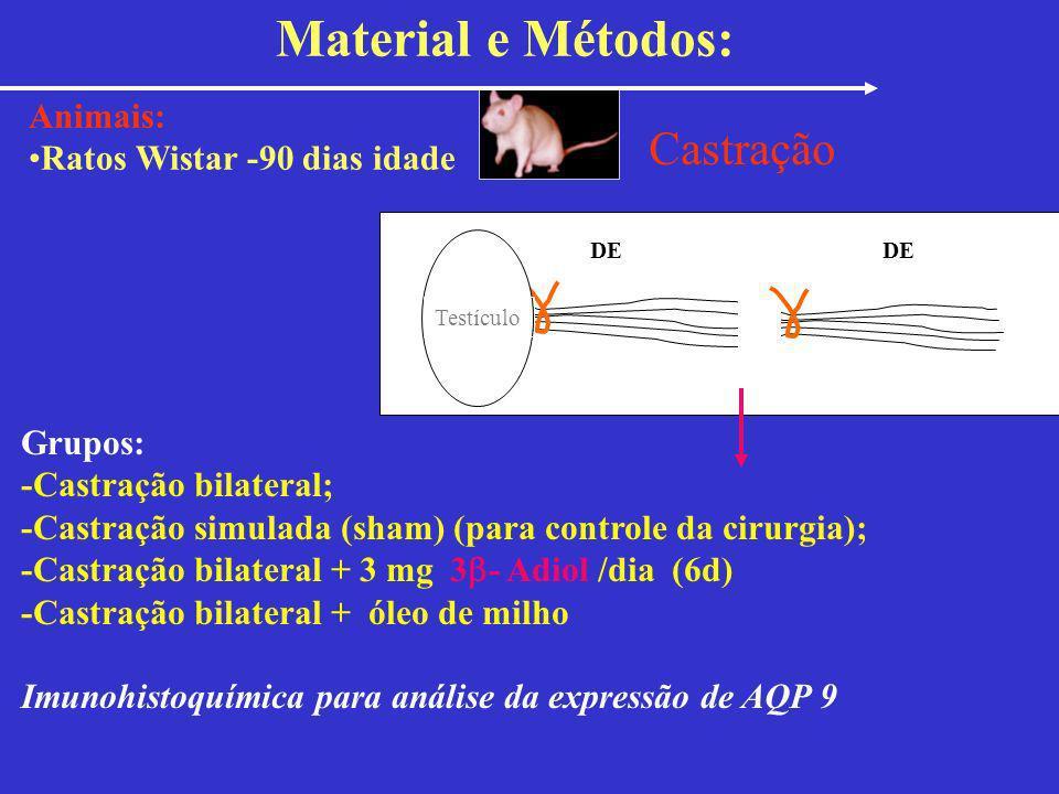 Castração DE Grupos: -Castração bilateral; -Castração simulada (sham) (para controle da cirurgia); -Castração bilateral + 3 mg 3 - Adiol /dia (6d) -Ca