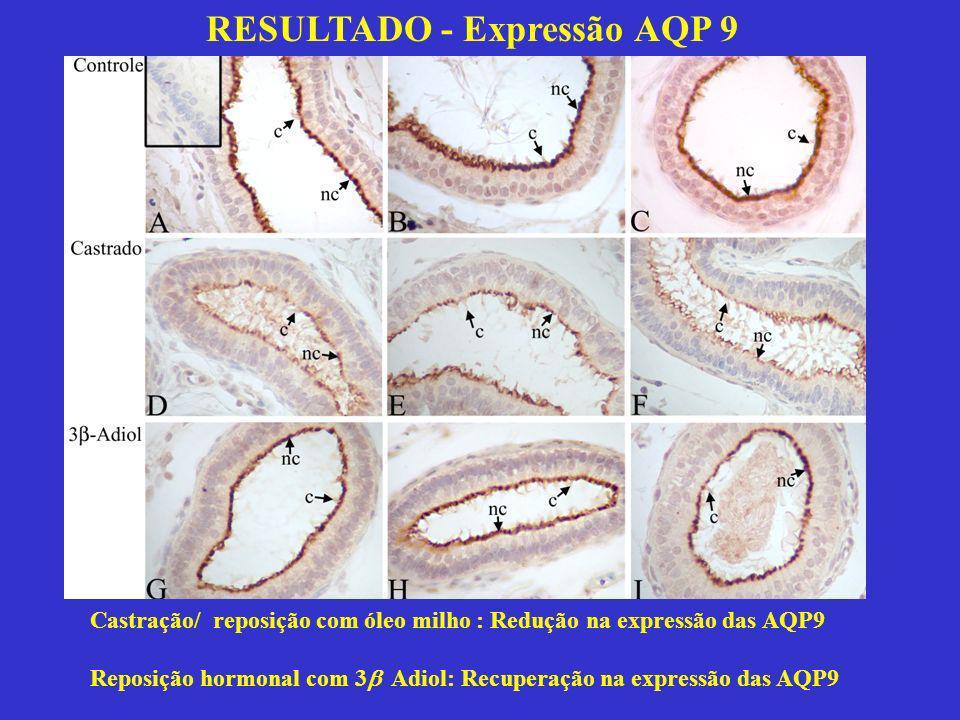 RESULTADO - Expressão AQP 9 Castração/ reposição com óleo milho : Redução na expressão das AQP9 Reposição hormonal com 3 Adiol: Recuperação na express