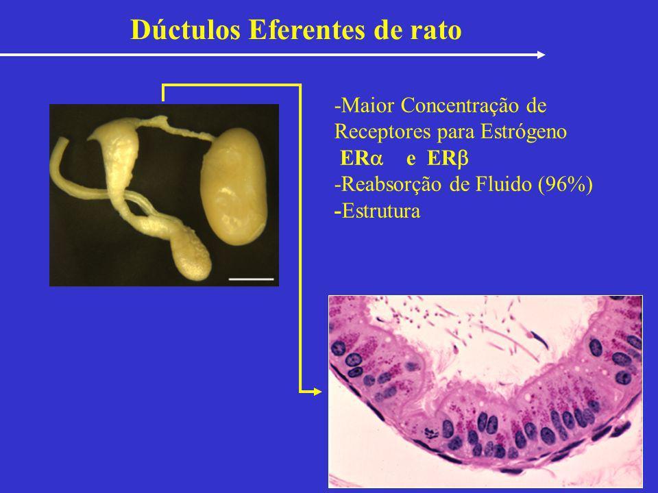 Dúctulos Eferentes de rato -Maior Concentração de Receptores para Estrógeno ER e ER -Reabsorção de Fluido (96%) -Estrutura