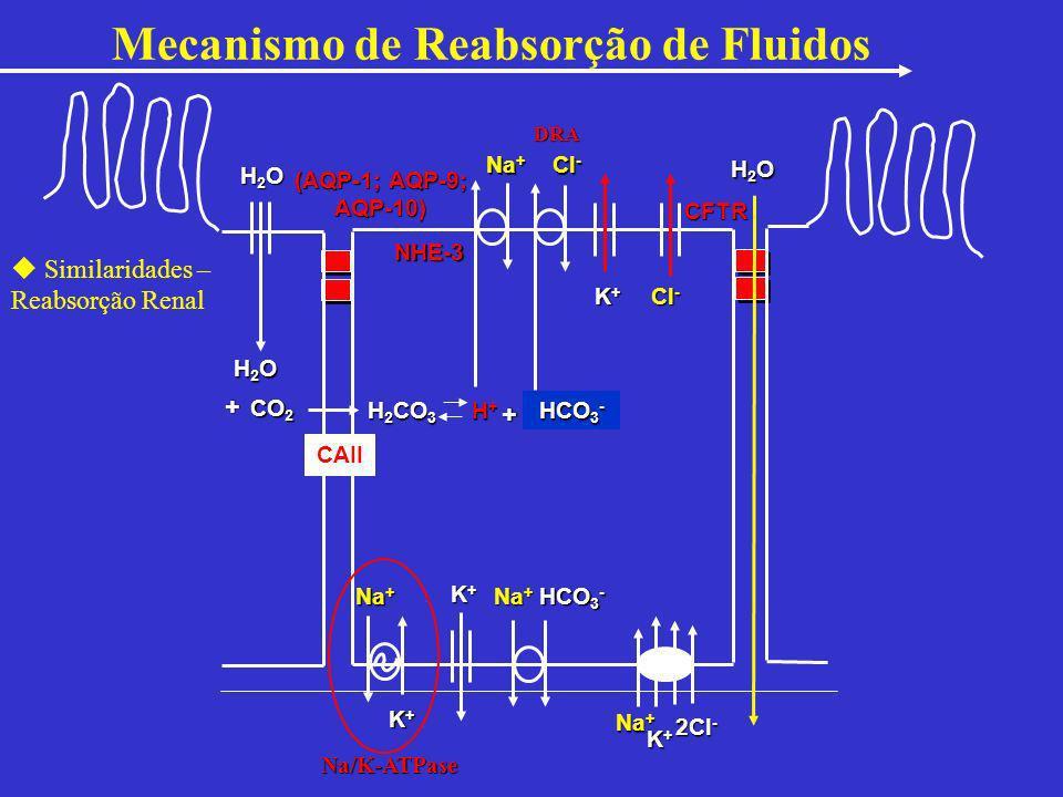 H2OH2OH2OH2O H2OH2OH2OH2O H2OH2OH2OH2O CO 2 + H 2 CO 3 H+H+H+H+ + HCO 3 - (AQP-1; AQP-9; AQP-10) Na + K+K+K+K+ 2Cl - K+K+K+K+ Cl - CAII Cl - HCO 3 - K