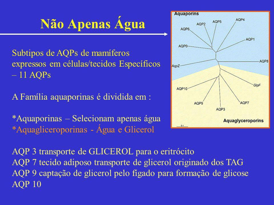 Não Apenas Água Subtipos de AQPs de mamíferos expressos em células/tecidos Específicos – 11 AQPs A Família aquaporinas é dividida em : *Aquaporinas –