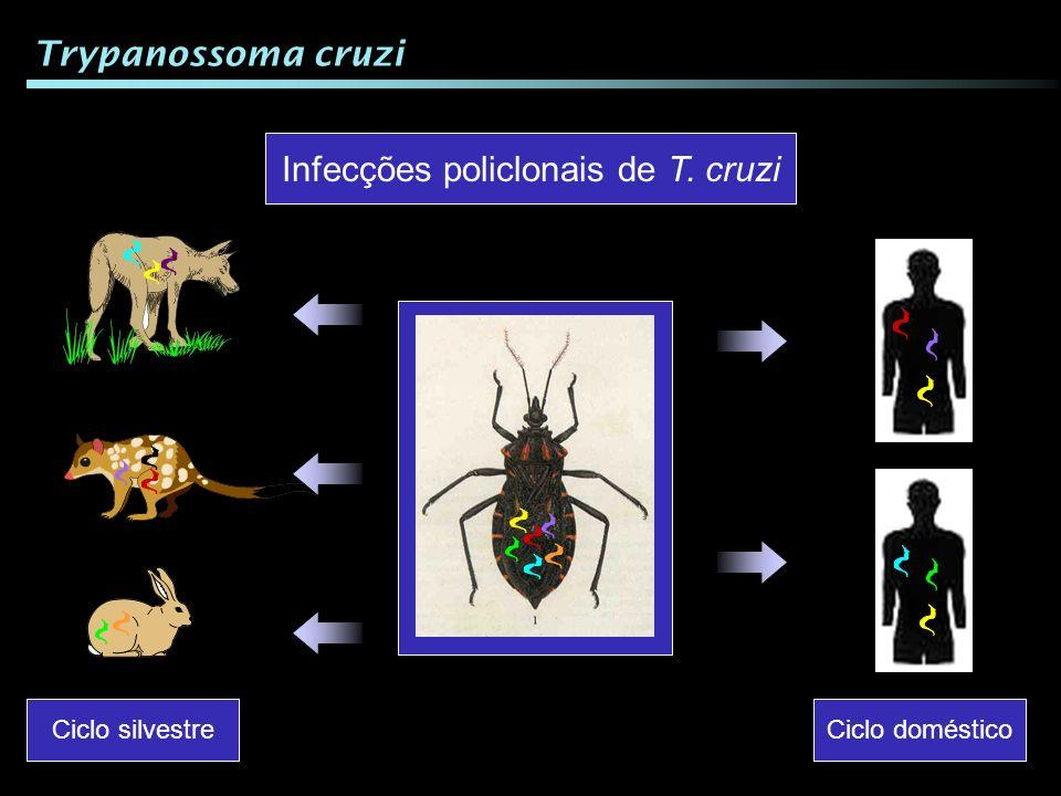 Ciclo silvestre Ciclo doméstico Infecções policlonais de T. cruzi Trypanossoma cruzi