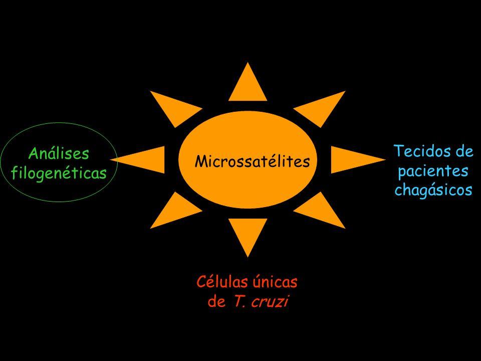 Microssatélites Análises filogenéticas Tecidos de pacientes chagásicos Células únicas de T. cruzi