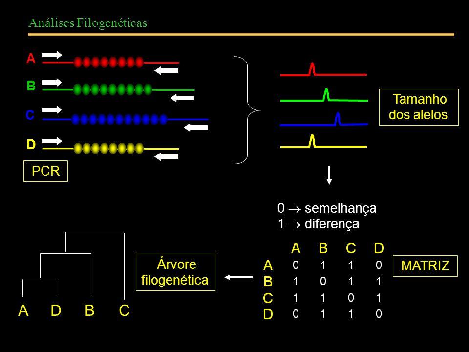 Análises Filogenéticas A B C D 0 semelhança 1 diferença MATRIZ Tamanho dos alelos ADBC Árvore filogenética PCR