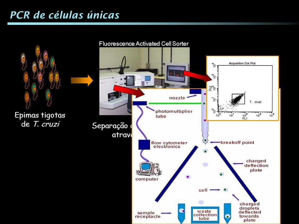 Epimas tigotas de T. cruzi PCR de células únicas Separação das células únicas através do FACS Fluorescence Activated Cell Sorter