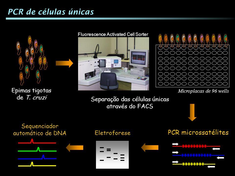 Separação das células únicas através do FACS Microplacas de 96 wells Epimas tigotas de T. cruzi PCR de células únicas PCR microssatélites Eletroforese