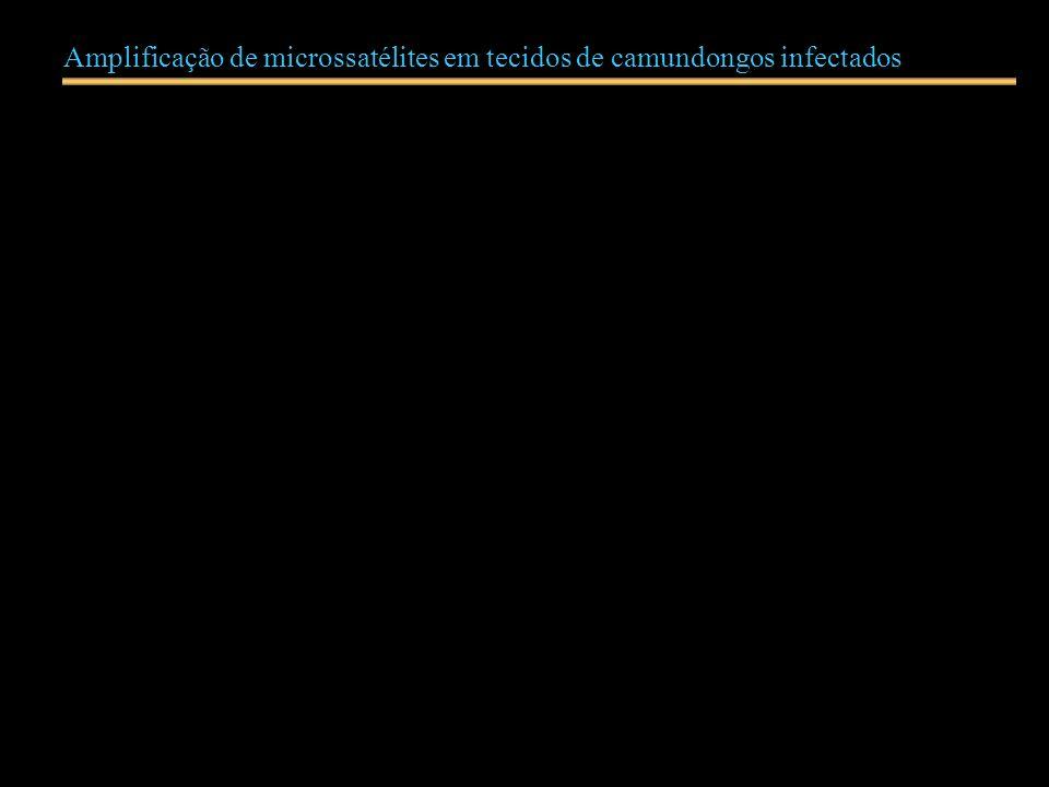 Amplificação de microssatélites em tecidos de camundongos infectados