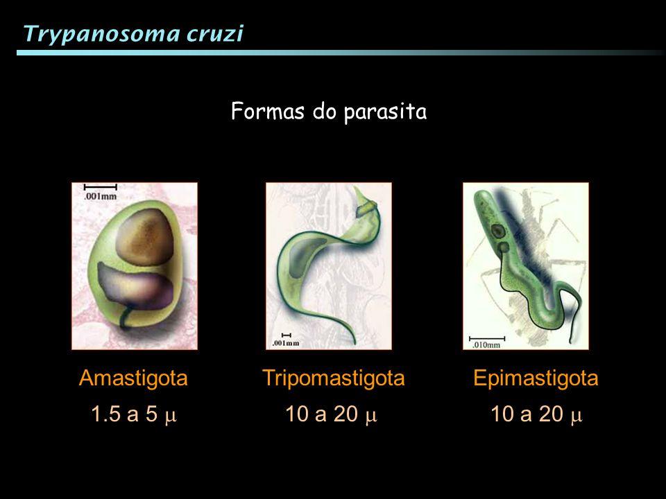 Formas do parasita TripomastigotaAmastigotaEpimastigota 1.5 a 5 10 a 20 Trypanosoma cruzi