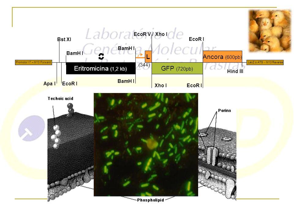 Eritromicina (1,2 kb) L GFP (720pb) Ancora (600pb) (344) BamH I Apa I Xho I EcoR V / EcoR I Hind III EcoR I Bst XI Promotor t7 – M13 Forward LacZ α AT