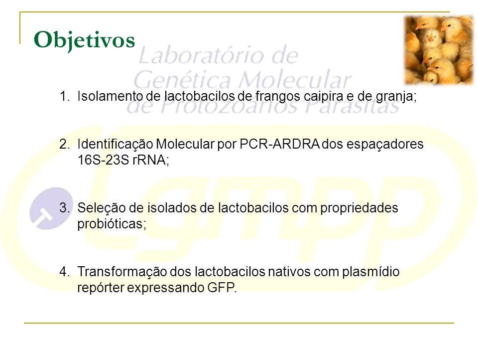 Objetivos 1.Isolamento de lactobacilos de frangos caipira e de granja; 2.Identificação Molecular por PCR-ARDRA dos espaçadores 16S-23S rRNA; 3.Seleção