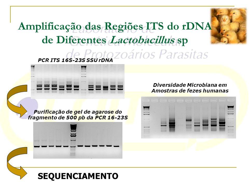 Diversidade Microbiana em Amostras de fezes humanas Purificação de gel de agarose do fragmento de 500 pb da PCR 16-23S PCR ITS 16S-23S SSU rDNA Amplif