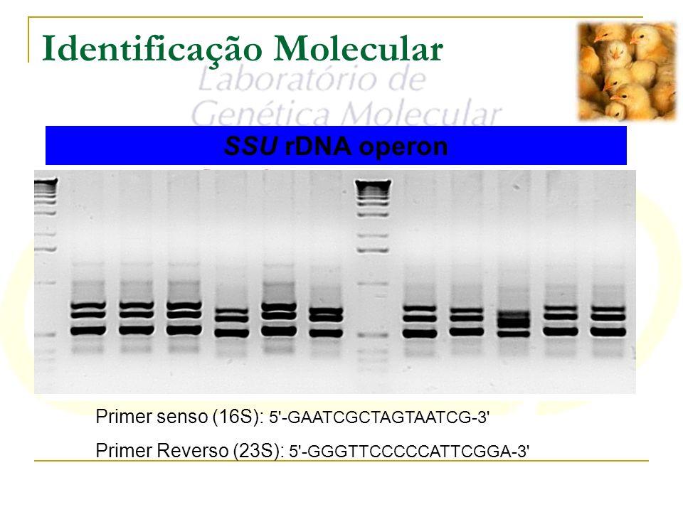 Identificação Molecular SSU rDNA operon Primer senso (16S): 5'-GAATCGCTAGTAATCG-3' Primer Reverso (23S): 5'-GGGTTCCCCCATTCGGA-3'