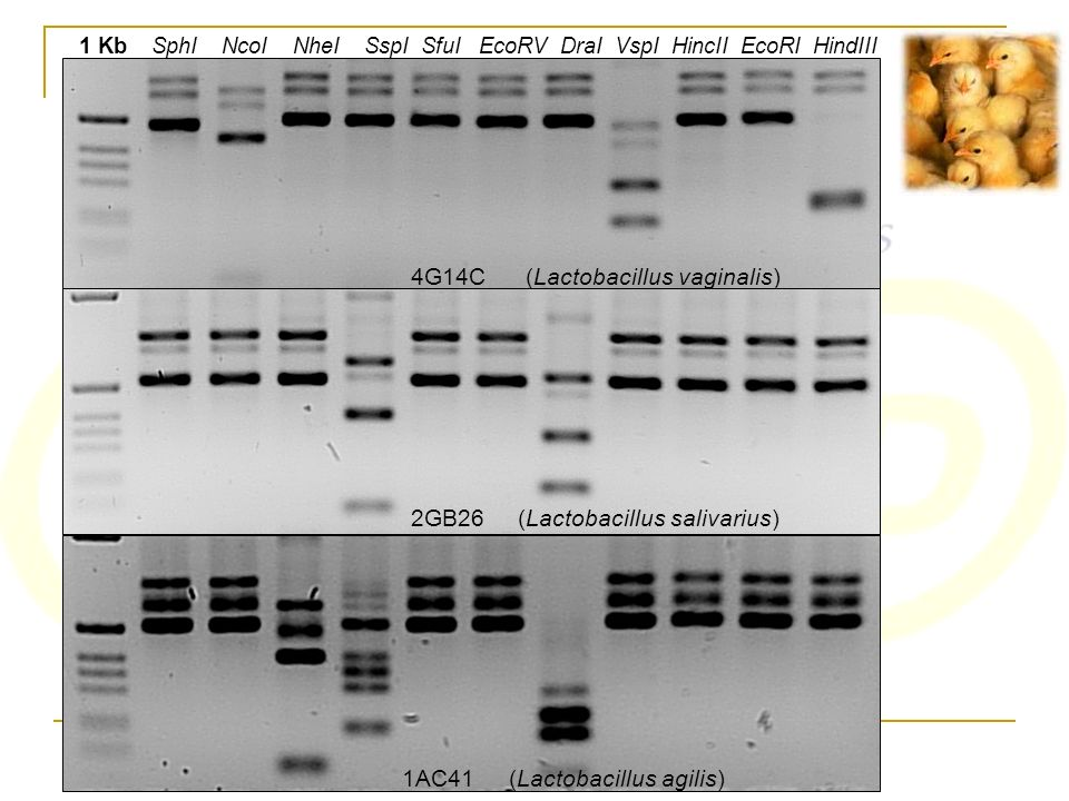 1 Kb SphI NcoI NheI SspI SfuI EcoRV DraI VspI HincII EcoRI HindIII 4G14C (Lactobacillus vaginalis) 2GB26(Lactobacillus salivarius) 1AC41(Lactobacillus