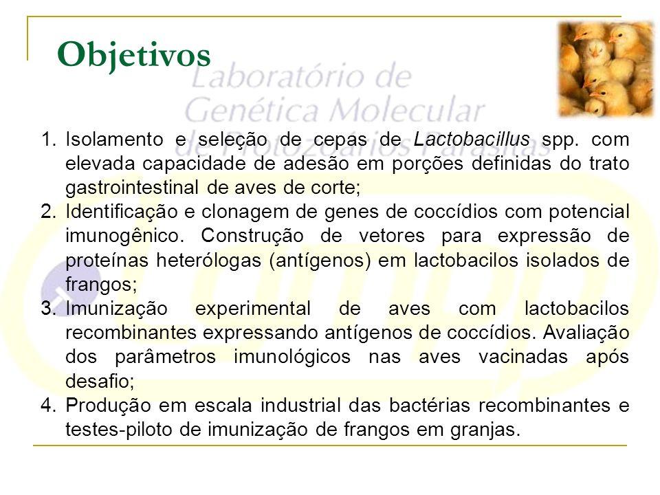 1.Isolamento e seleção de cepas de Lactobacillus spp. com elevada capacidade de adesão em porções definidas do trato gastrointestinal de aves de corte