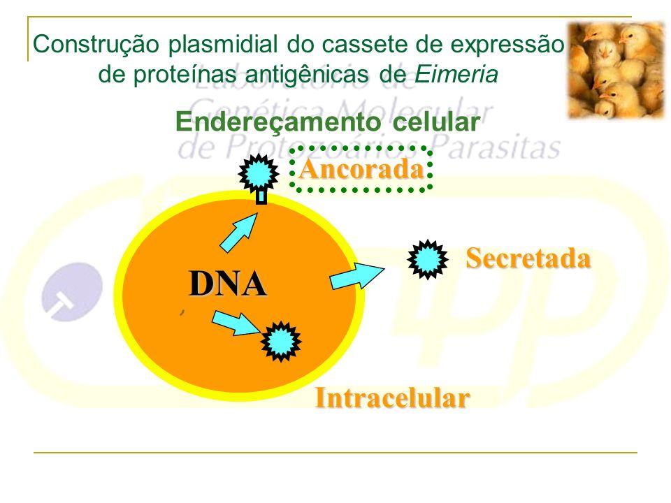 Endereçamento celular Intracelular Secretada Ancorada DNA Construção plasmidial do cassete de expressão de proteínas antigênicas de Eimeria