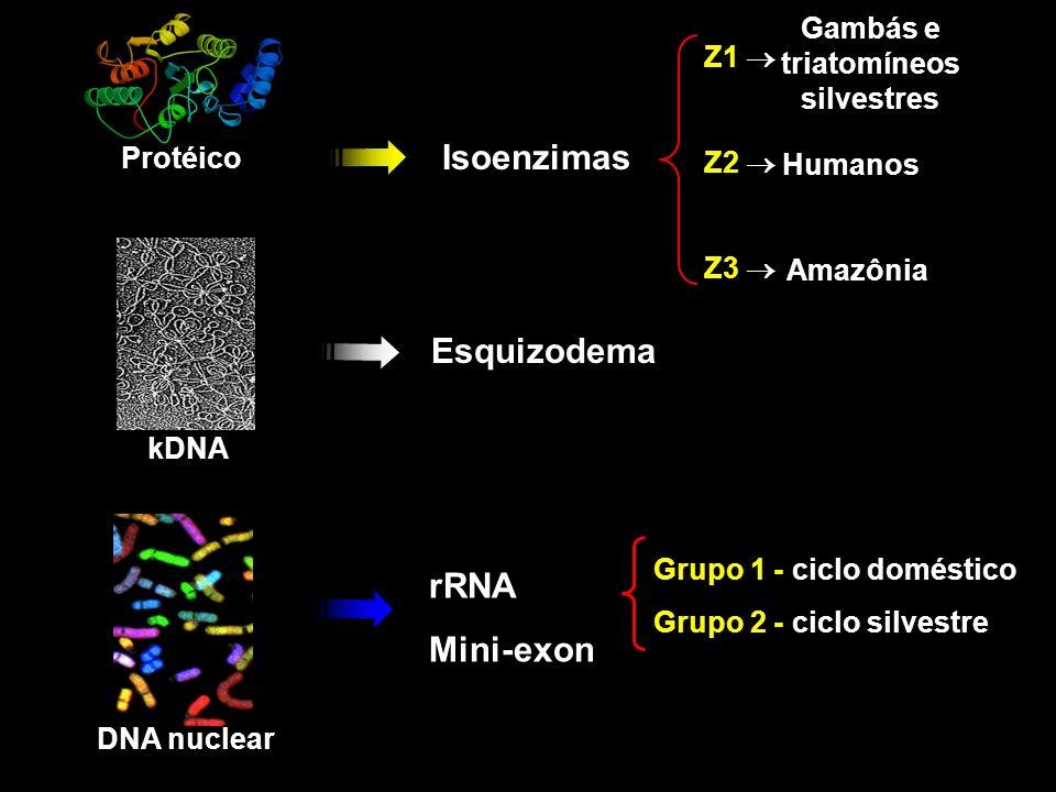 Ausência do clone CL Brener na infecção mista Protocolos de infecções CLBrener+Col1.7G2+PNM+JG Col1.7G2+PNM+JG 50 parasitas/ml por população 60 dias 0 10 20 30 40 50 60 70 80 90 100 110 Populações de T.cruzi detectadas % de fezes positivas Infecções mistas emT.infestansInfecções mistas emT.infestans 0 10 20 30 40 50 60 70 80 90 100 110 CLBrener Col1.7G2 PNMJG Populações de T.cruzi detectadas % de fezes positivas