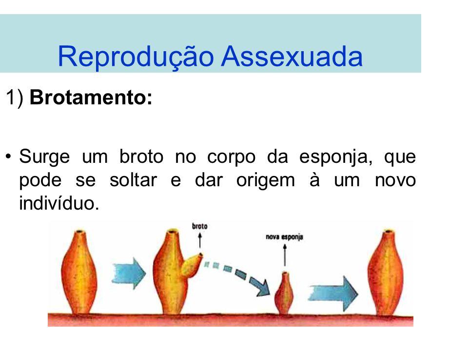 Reprodução Assexuada 1) Brotamento: Surge um broto no corpo da esponja, que pode se soltar e dar origem à um novo indivíduo.