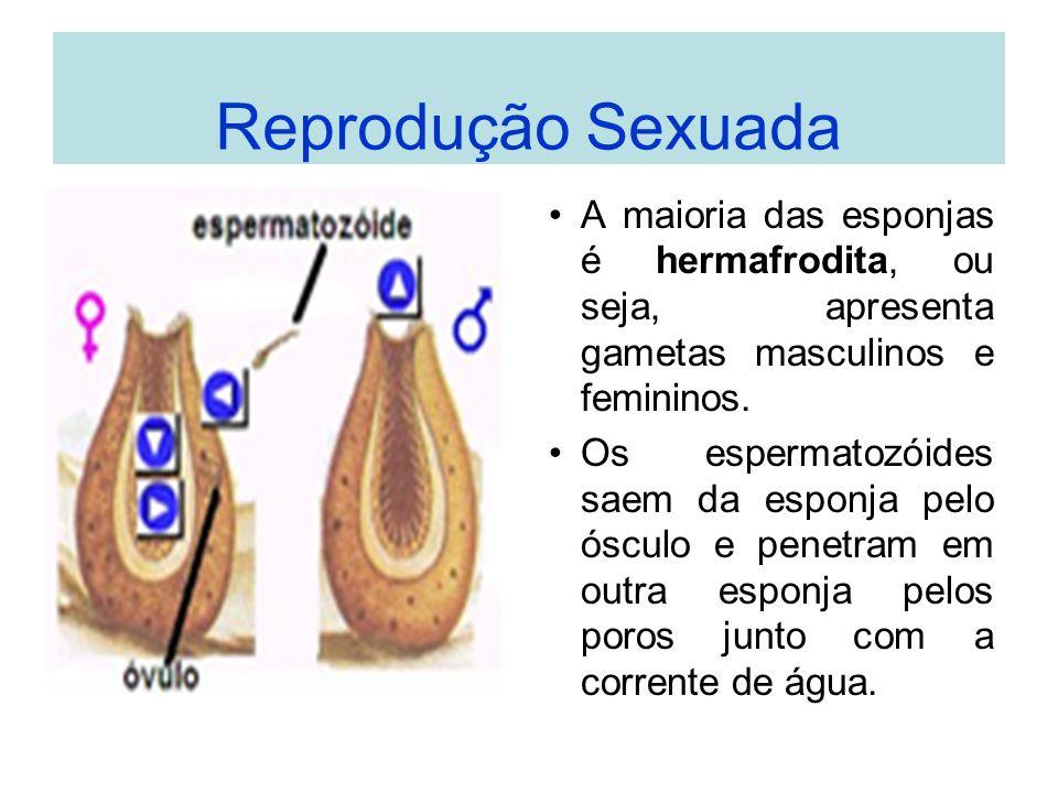Reprodução Sexuada A maioria das esponjas é hermafrodita, ou seja, apresenta gametas masculinos e femininos. Os espermatozóides saem da esponja pelo ó