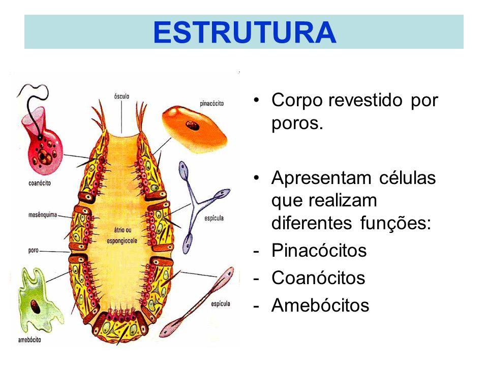 ESTRUTURA Corpo revestido por poros. Apresentam células que realizam diferentes funções: -Pinacócitos -Coanócitos -Amebócitos