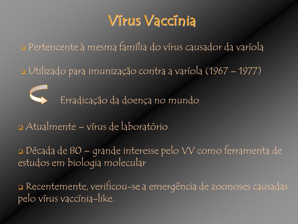 Vírus Vaccínia Pertencente à mesma família do vírus causador da varíola Utilizado para imunização contra a varíola (1967 – 1977) Atualmente – vírus de laboratório Década de 80 – grande interesse pelo VV como ferramenta de estudos em biologia molecular Recentemente, verificou-se a emergência de zoonoses causadas pelo vírus vaccínia-like.