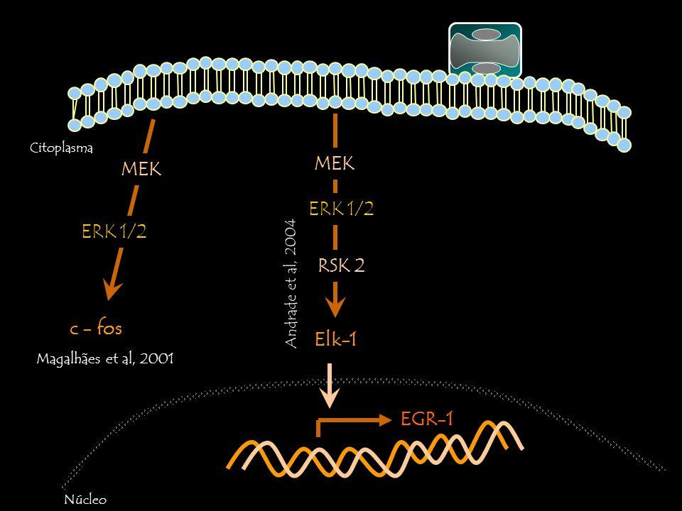 Citoplasma Núcleo EGR-1 c - fos MEK ERK 1/2 Magalhães et al, 2001 Elk-1 MEK ERK 1/2 RSK 2 Andrade et al, 2004