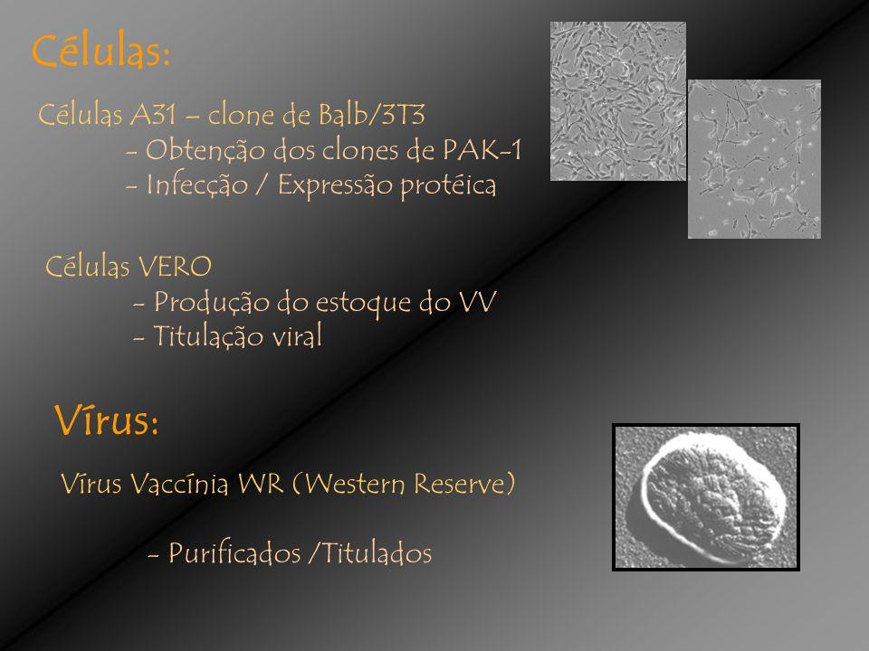 Células: Células A31 – clone de Balb/3T3 - Obtenção dos clones de PAK-1 - Infecção / Expressão protéica Células VERO - Produção do estoque do VV - Titulação viral Vírus: Vírus Vaccínia WR (Western Reserve) - Purificados /Titulados