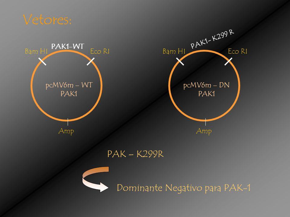 Vetores: pcMV6m – WT PAK1 PAK1-WT Bam HIEco RI Amp pcMV6m – DN PAK1 PAK1- K299 R Bam HIEco RI Amp PAK – K299R Dominante Negativo para PAK-1
