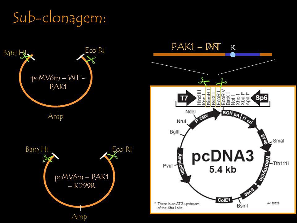 Sub-clonagem: PAK1 – WT K PAK1 – DN R pcMV6m – WT - PAK1 PAK1-WT Bam HI Eco RI Amp pcMV6m – PAK1 – K299R PAK1- K299 R Bam HIEco RI Amp