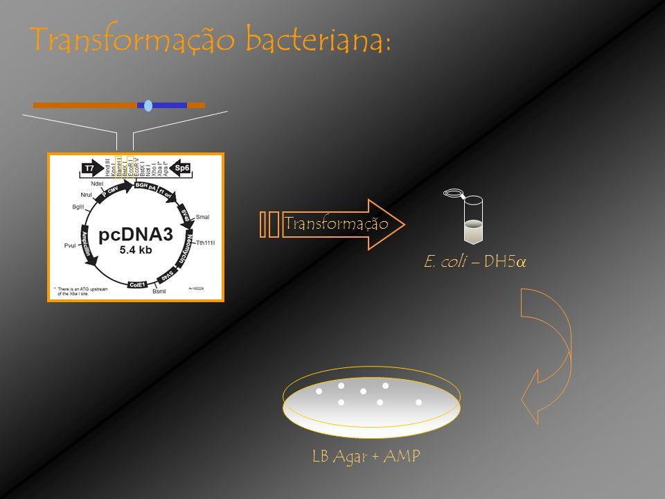 Transformação bacteriana: E. coli – DH5 Transformação LB Agar + AMP