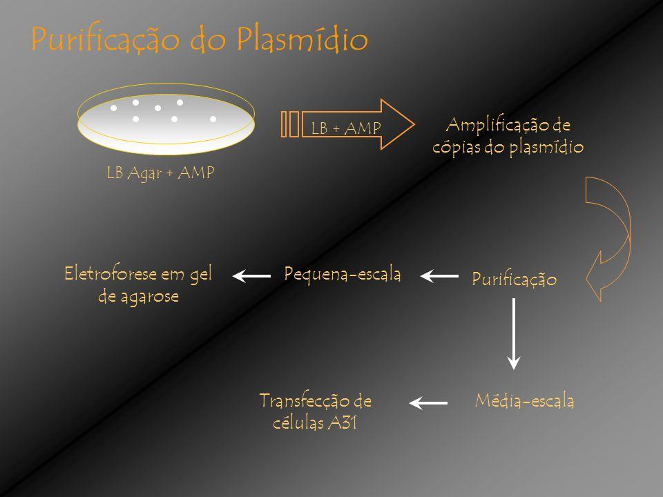 Amplificação de cópias do plasmídio LB + AMP Purificação Pequena-escala Média-escala Eletroforese em gel de agarose Purificação do Plasmídio Transfecção de células A31