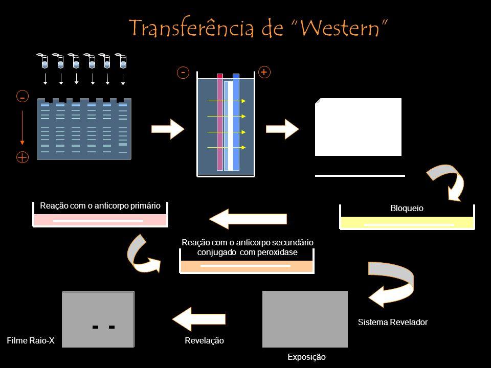 Reação com o anticorpo primário Transferência de Western + - + - Bloqueio Reação com o anticorpo secundário conjugado com peroxidase Filme Raio-X Sistema Revelador Revelação Exposição